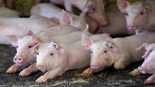 Nur eine Frage der Zeit?: Experten erwarten die Schweinepest