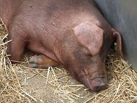 Die roten Duroc-Schweine sind eine alte amerikanische Rasse.