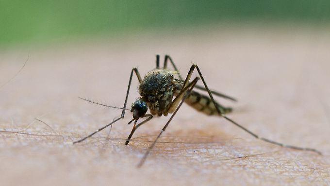 Wie Stechmücken ihre Opfer auswählen, ist Gegenstand biologischer Forschung.