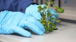 Erdbeeren für den Weltraum: Forscher züchten Astronauten-Nahrung in der Antarktis