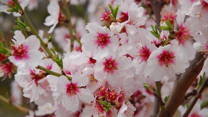 Wenn die Mandelbäume blühen, ist es Frühling.