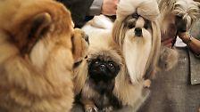 Wie eine kleine Wolke: Bichon Frisé stiehlt allen die (Hunde-) Show