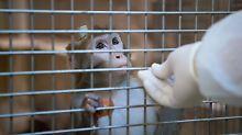 Misshandlung von Affen: Strafbefehle gegen Forscher beantragt