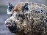 Keine Schonzeit für Wildschweine: Kabinett geht gegen Schweinepest vor