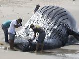 Hässliche Szenen an Chiles Küste: Touristen posieren mit Blauwal-Kadaver