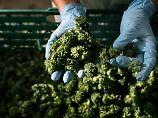 Uneinigkeit herrscht in der Cannabis-Politik.