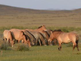 Przewalski-Pferde im Takhin-Tal in der Mongolei. Eine neue Studie zeigt: Echte Wildpferde sind sie nicht.
