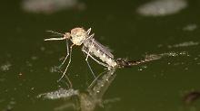 Hier schlüpft eine Stechmücke. Eisige Zeiten überstehen die Insekten mit einer Art Frostschutzmittel.