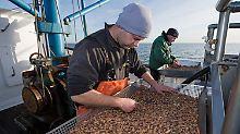Ende der Reise nach Afrika: Ostfriesland will wieder selbst Krabben pulen