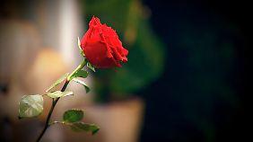 Eine Rose, die alles entscheidet.