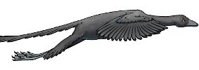 Archaeopteryx hob ab: Urvogel konnte doch fliegen