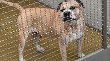 Der Staffordshire-Terrier Chico wurde von Rettungskräften eingefangen.