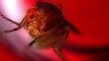 Bester Teil der Paarung: Auch Fliegen beglückt der Samenerguss