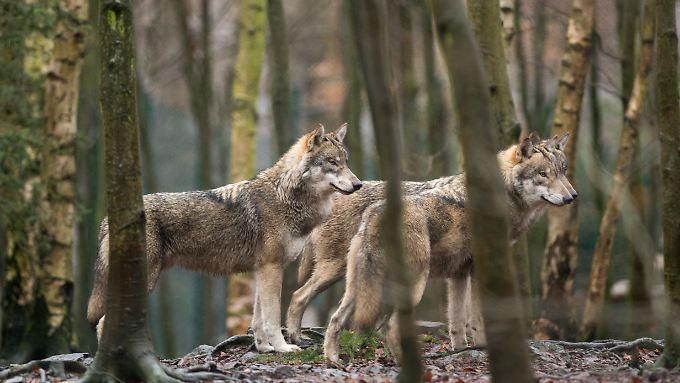 Im Jahr 2000 kamen die ersten Wölfe dauerhaft nach Deutschland zurück.