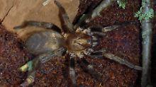 Rekordhalterin weit übertroffen: Älteste Spinne stirbt an Wespenstich