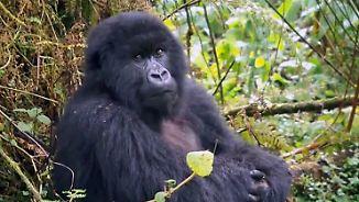 Bedrohter Riese im Urwald: Uganda zählt seine letzten Berggorillas