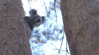 Vom Aussterben bedrohte Beuteltiere: Australien investiert Millionen in den Schutz der Koalas