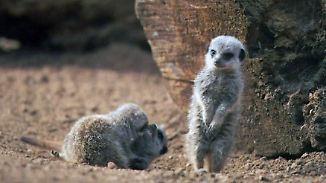 Ihre Eltern sind Fernsehstars: Erdmännchen-Babys tollen durch Zoo