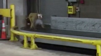 Großeinsatz in San Antonio: Ausgebüxter Affe legt Flughafen lahm