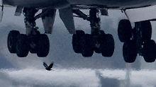 Kampf gegen Vogelschläge: Airlines setzen auf tierische Verbündete
