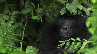 Inventur im Nationalpark: Uganda zählt seine Berggorillas