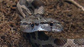 Kaum zu glauben, aber wahr: Doppelköpfige Schlange fasziniert die Wissenschaft
