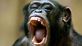 Beim Streit um Frauen bricht auch im Schimpansen der Macho durch.