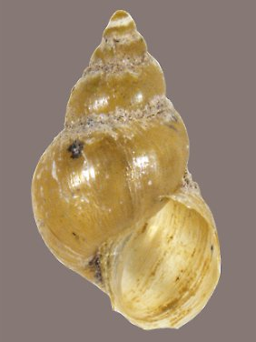 Dieses Gehäuse belegt nach Ansicht der Forscher die Anwesenheit der Leberegelschnecke Galba cubensis.
