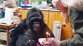 Hochintelligentes Tier: Gorilla-Dame Koko ist tot