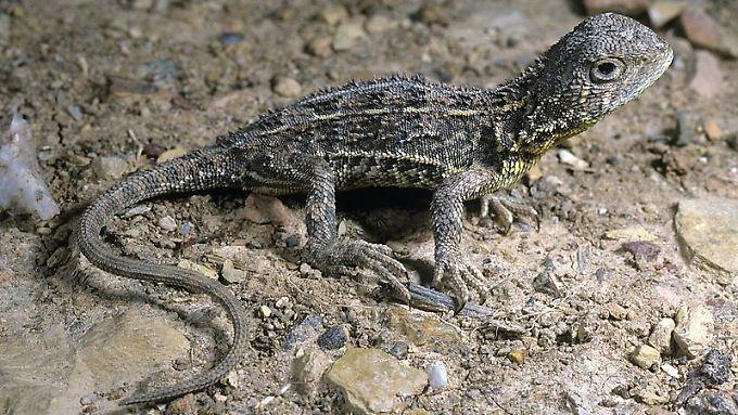 Der Ohrlose Graslanddrachen (Tympanocryptis pinguicolla) gehört zu den seltensten Reptilienarten der Welt.