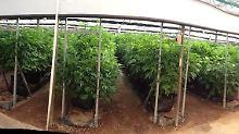 In den Gewächshäusern wachsen verschieden Pflanzen, die gezielt auf bestimmte Beschwerden hin gezüchtet wurden.
