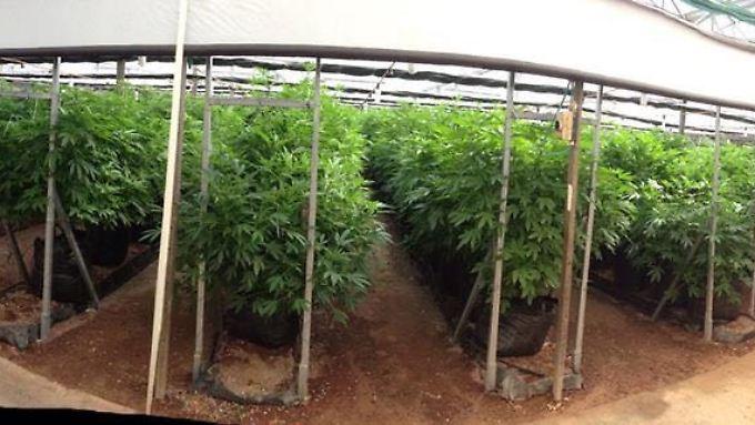 Israels Cannabis-Produkte – ein Segen für chronisch Kranke