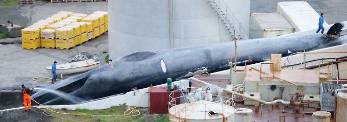 Gentest abgeschlossen: Isländer töten Blau-Finnwal-Mischling