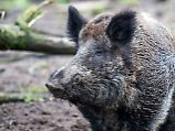 Umstrittene Schutzmaßnahme: Dänemark baut Grenzzaun für Schweine