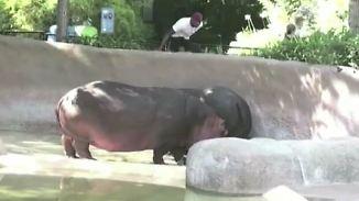 Kaum zu glauben, aber wahr: Leichtsinniger Zoobesucher betatscht Nilpferd