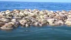 Hauptfeind Mensch: Mexiko rätselt über massenhaftes Schildkrötensterben