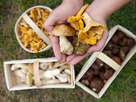 Steinpilze, Pfifferlinge und Maronen: So eine reiche Ausbeute haben derzeit nicht viele Pilzsammler.