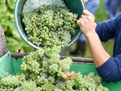 Nach schlechter Ernte 2017: Super-Sommer bringt 30 Prozent mehr Wein