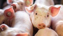 """""""Stinker"""" in der Schweinezucht: Ferkel-Halter fürchten Betäubungspflicht"""