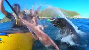 Kaum zu glauben, aber wahr: Seehund ohrfeigt Kajakfahrer mit Oktopus