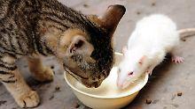 Natürliche Schädlingsbekämpfung?: Katzen helfen kaum gegen Ratten