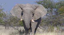 Zweiter Angriff in Simbabwe: Elefant verletzt deutschen Touristen schwer