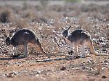 Rippenbrüche und Schnittwunden: Aggressives Känguru verletzt drei Menschen