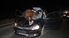 Pony und Pferd laufen in Auto: Stute kracht durch Windschutzscheibe