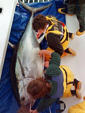 Der Blauflossenthun ist vom Aussterben bedroht, wird aber trotzdem gefischt und verkauft.