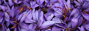 Im Herbst blüht sie violett.