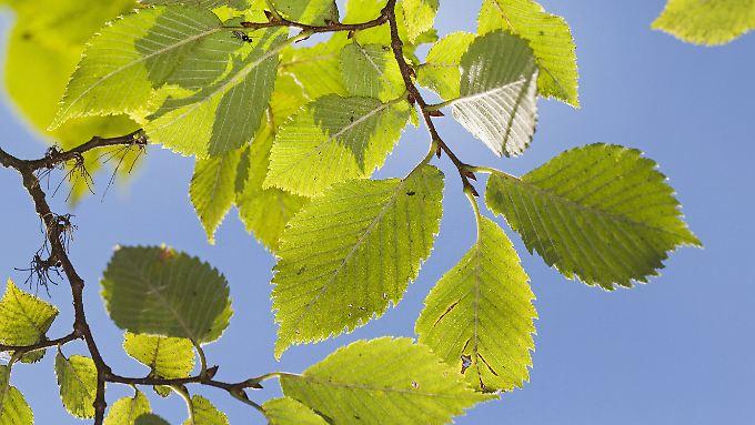 So sehen die Blätter der Flatter-Ulme aus.
