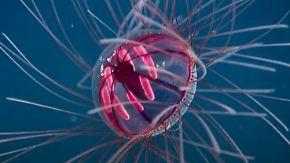 """Giftige Tiefseejägerin: """"Psychedelische Medusa"""" schwimmt Forschern vor die Linse"""
