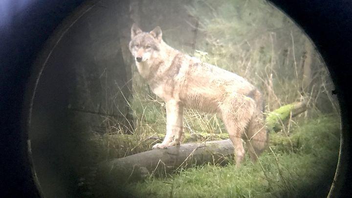 Ein Wolf durch ein Zielrohr  beobachtet. Nach dem Vorfall in Niedersachsen zog Umweltminister Olaf Lies sogar die Aufnahme der Wölfe in das Jagdrecht in Erwägung.