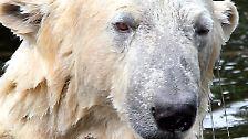 Der berühmteste Eisbär der Welt: Mach's gut, Knut